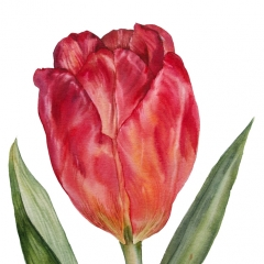 newzealand_tulip_lil5